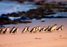 Penguin-Parade-Tour-Beach