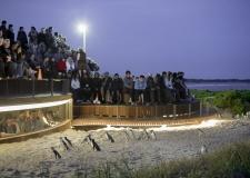 phillip-island-tours-Penguins-Plus-Night