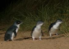 phillip-island-tours-Penguins